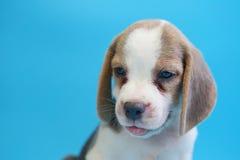 2个月小猎犬小狗坐下和看照相机 免版税库存图片