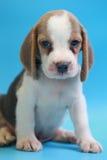 2个月小猎犬小狗坐下和看照相机 免版税图库摄影