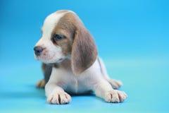 2个月小猎犬小狗坐下和看照相机 图库摄影