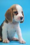 2个月小猎犬小狗坐下和看照相机 免版税库存照片