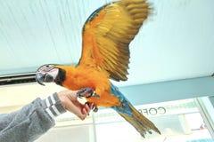 3个月蓝色和黄色金刚鹦鹉可爱的明亮的儿童` s情感 库存图片