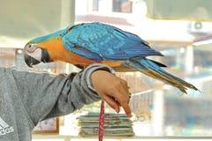 3个月蓝色和黄色金刚鹦鹉可爱的明亮的儿童` s情感 免版税库存照片