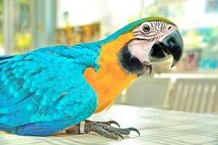 3个月蓝色和黄色金刚鹦鹉可爱的明亮的儿童` s情感 库存照片