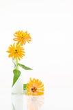 3个桔子仙人掌开花了百日菊属 库存照片