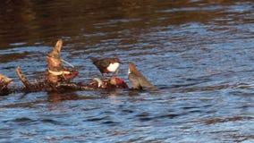 2个浸染工, Cinclus,浸洗,浮动在elgin的河lossie,海鳗,行军的苏格兰 股票录像