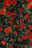 01个红色郁金香 库存图片