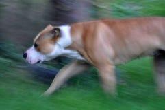 18个美国月斯塔福郡狗 免版税库存照片