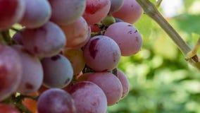 2个葡萄 库存照片