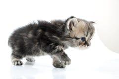 1个走往的月大苏格兰平直的小猫 图库摄影