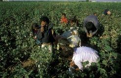 中东叙利亚阿勒颇棉花种植园 免版税库存照片