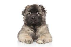 中亚牧羊人小狗 免版税库存照片