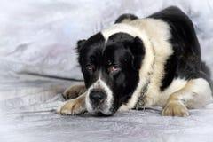 中亚牧羊犬 库存图片