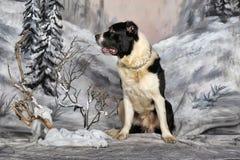 中亚牧羊犬 免版税库存照片