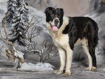 中亚牧羊犬 库存照片