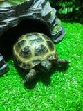 中亚鲜绿色的乌龟在玻璃容器站立 免版税库存照片