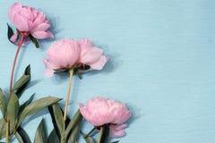 中介子轻轻地桃红色颜色谎言三朵开花的花在蓝色包装纸的 图库摄影