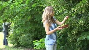 中医师妇女在公园采摘菩提树从树枝的绽放草本 4K 影视素材