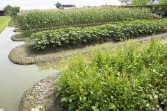 中华芸苔choy的rapa或的Bok或朴崔植物在庭院里 免版税库存照片