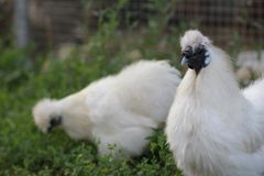 中国丝绸养鸡场 免版税库存照片