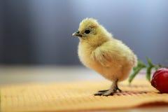中国丝绸养鸡场 免版税图库摄影