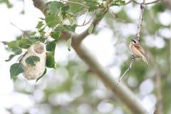 中国人Penduline山雀巢 库存图片