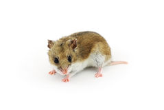 中国仓鼠 库存图片