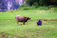 中国农夫和母牛 库存图片