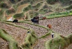 中国农夫的孩子吃草在米领域的牛。 免版税库存图片