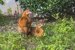 中国农村鸡 库存图片