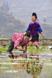 中国农民妇女移植了在米pa的米幼木 库存照片