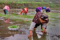 中国妇女ricefields,她的手米幼木的举行。 免版税图库摄影