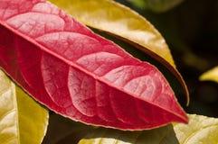 中国巴豆红色下面叶子关闭 免版税库存图片