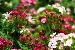 中国康乃馨在庭院里 开花的康乃馨 库存照片