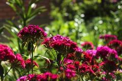 中国康乃馨在庭院里 开花的康乃馨 免版税库存照片