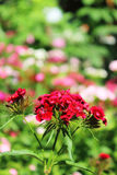 中国康乃馨在庭院里 开花的康乃馨 免版税图库摄影