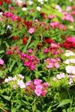 中国康乃馨在庭院里 开花的康乃馨 库存图片