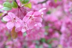 中国开花的crabapple 免版税图库摄影