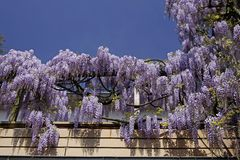中国德国春天紫藤 免版税库存照片