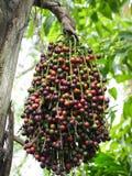 中国扇形棕榈种子  库存照片