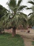 中国扇形棕榈/LIVESTONA CHINENSES 免版税库存图片