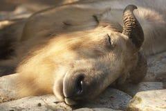 中国扭角羚 图库摄影