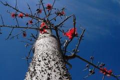 中国攀枝花结构树 免版税库存图片