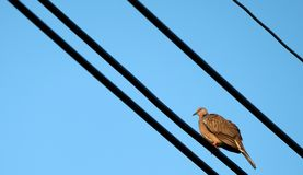 中国斑点收缩的乌龟鸠 库存图片