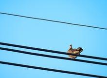 中国斑点收缩的乌龟鸠 图库摄影