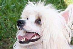 中国有顶饰品种狗 免版税库存照片