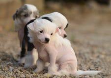 中国有顶饰小狗 免版税库存图片