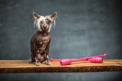 中国有顶饰狗在演播室 免版税库存照片