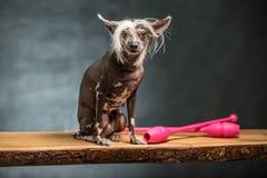 中国有顶饰狗在演播室 免版税库存图片
