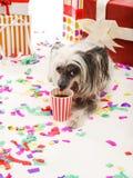 中国有顶饰狗在礼物盒附近说谎并且喝从塑料玻璃的可乐 背景查出的白色 免版税库存照片