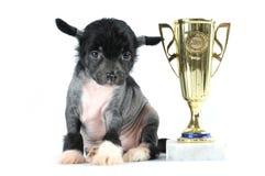 中国有顶饰狗查出的小狗坐白色 免版税库存图片
